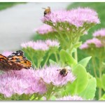 Butterfly-and-Bees