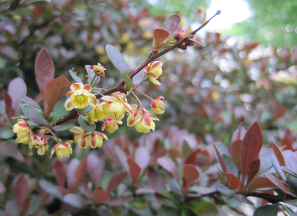 pygmy barberry
